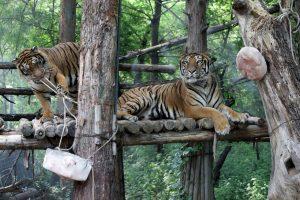 Sacramento Zoo Tigers