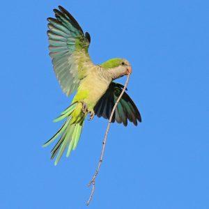 green quaker parrot flying