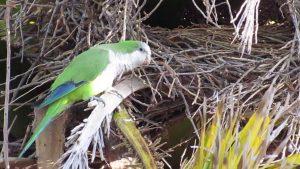 nesting quaker parrot